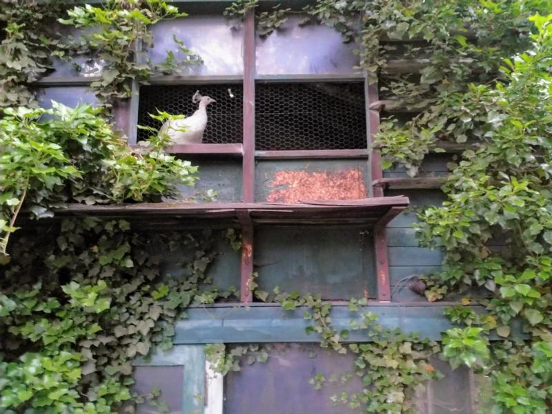 Weißer Pfau der Villa Barwich