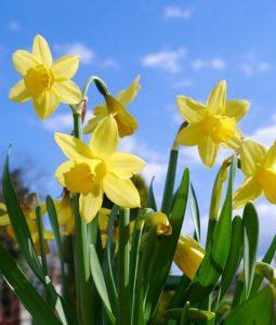Sprache der Blumen, Narzissen