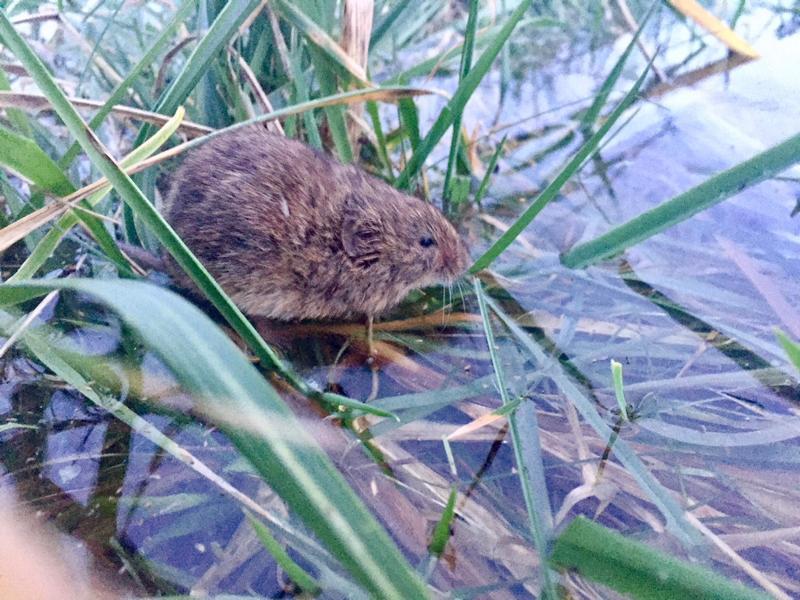 Wildtiere retten am Rhein vor Hochwasser, Maus gerettet